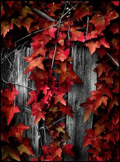 Beautiful red leaves...