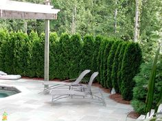 Need privacy trees to help block out your neighbor? Our privacy trees are the perfect solution! Pick and order your fresh privacy trees online today for FAST delivery! Arborvitae Landscaping, Arborvitae Tree, Privacy Landscaping, Backyard Privacy, Home Landscaping, Outdoor Privacy, Landscaping Software, Outdoor Decor, Privacy Trees