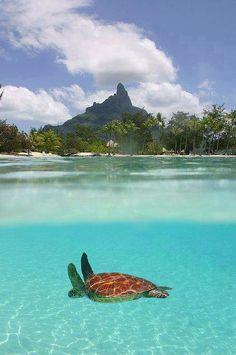 Sea Turtle in Le Meridian, Bora Bora
