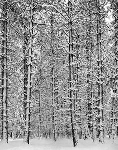 Ansel Adams  Trees and Snow  1933