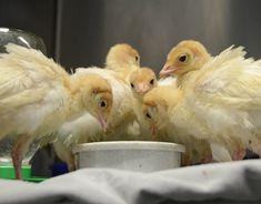 2014_04-22_FSNY_baby_turkeys_DSC_5759_CREDIT_Farm_Sanctuary-rescue story