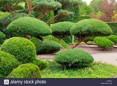 Juniper topiary - This is what we have, but I'm going to try . Small Trees For Garden, Garden Trees, Trees To Plant, Cloud Pruning, Japanese Garden Plants, Baumgarten, Topiary Garden, Garden Waterfall, Home Garden Design