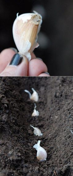 how to plant and grow garlic. - I did this with a garlic from the gocery and had so much garlic, plus while it's growing it's pretty. Oh we use this so much I should seriously grow it! plant garlic in the FALL! Outdoor Gardens, Growing Garlic, Veggie Garden, Autumn Garden, Lawn And Garden, Amazing Gardens, Plants, Herbs, Garden Veggies