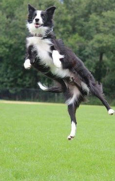 Awesome jump from Koda the Border Collie, shown here at 1 and a half years old. | Border Collie Information and Pictures, Border Collies