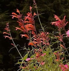 Sunset Hyssop (Agastache rupestris) which loves the good drainage of a pot. This plant also attracts hummingbirds