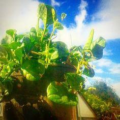#malabar #malabarspinach #spinach 5gal containers $20