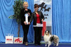 Vaasa 2014. FCI1: Amor'jade Danish Wild Card, Shetland Sheepdog