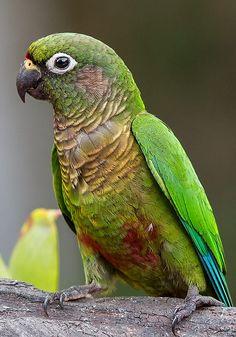 Maroon-bellied Parakeet by Arlei Bertani on 500px