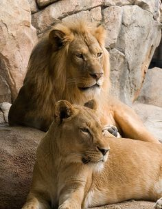 Lion And Lioness Love | Lions and Lionesses are people who take charge in situations where ...