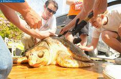 New Juvenile Loggerhead arrives at Beasley Sea Turtle Hospital. @StarNews
