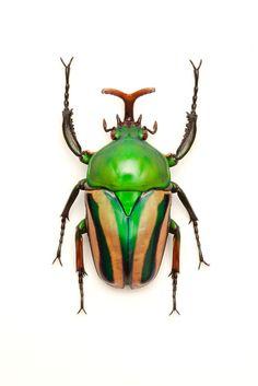 Cool green Scarab beetle.