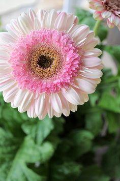 Lollipop Strawberry Gerbera Daisy Flower ~ Gerbera Jamesonii