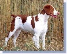 Brittany Spaniel.  Greatest dog I ever had