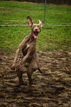 Cachorro levando uma bolada nas...bolas.
