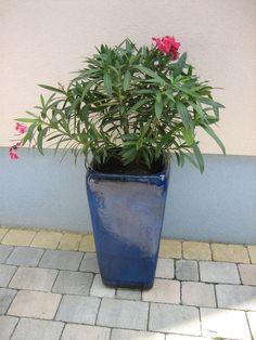 Oleander Deer Resistant Perennials, Container Flowers, Bonsai, Shrubs, Planter Pots, Gardening, Outdoor, Design, Garten