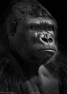 gorilla portrait by WolfAdemeit