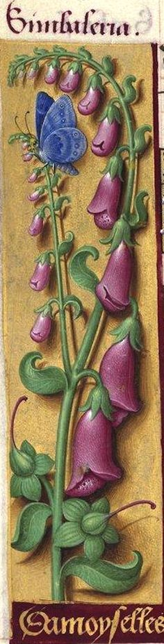 Damoyselles - Simbaleria (Digitalis purpurea L. = digitale pourpre, gant de Notre-Dame) -- Grandes Heures d'Anne de Bretagne, BNF, Ms Latin 9474, 1503-1508, f°72v