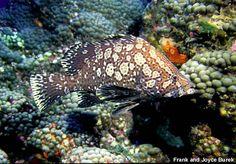 Epinephelus inermis - Marbled Grouper, Florida to Mexico