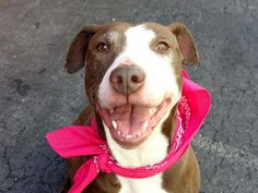 URGENT - Manhattan Center    COCO - A0996133    FEMALE, BROWN / WHITE, PIT BULL MIX, 2 yrs, 6 mos  STRAY - ONHOLDHERE, HOLD FOR ID  Reason MIL DEPLOY   Intake condition NONE Intake Date 04/09/2014, From NY 10030, DueOut Date 04/16/2014  https://www.facebook.com/photo.php?fbid=786553344690880&set=a.617938651552351.1073741868.152876678058553&type=3&permPage=1