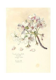 Kirsche Blüte #3 Aquarell Bleistift Zeichnung, botanische PRINT der blühenden…