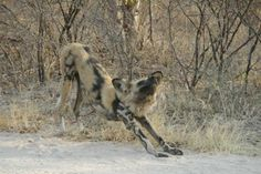 Conserving the African wild dog - http://zambezitraveller.com/kafue/conservation/conserving-african-wild-dog