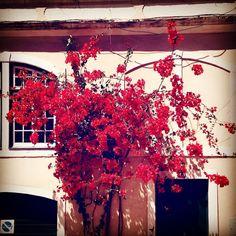 #flowers #flower #nature #beautiful #love #pretty #plants #blossom #sopretty #flowerstagram #flowersofinstagram #flowerslovers #flowerporn #botanical #floral #florals #flowermagic #instablooms #bloom #blooms #botanical #floweroftheday #lisboa #lisbon #portugal #portugaldenorteasul #igers #igersportugal http://gelinshop.com/ipost/1518862124515848467/?code=BUUFQ4Sj_ET