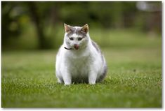 6 essential facts you need to know on feline obesity - Royal Canin Shelter Program Fat Cats, Cat Health, Weight Loss Plans, Cool Cats, Funny Cats, Dog Cat, Kitty, Pets, Animals
