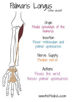 All Upper Limb Muscles Notes & Drawings Muscles Of Upper Limb, Bones And Muscles, Medicine Notes, Medicine Student, Physical Therapy Student, Occupational Therapy, Upper Limb Anatomy, Mega Series, Forearm Muscles