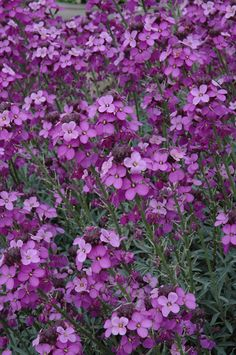 ERYSIMUM 'Bowles's Mauve' is a plant that every garden should have. It manages to flower almost all year long apart from in the depths of winter.  This vigorous subshrub reaching 75cm (21/2ft) in height, has glaucous foliage and mauve flowers that lend it to many planting combinations. Given a good sunny aspect with well-drained soil it will reward you with months of continual flowering, and attract a whole host of insects.