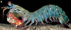 Crustacea - Classe Malacostraca, Subclasse Eumalacostraca (Ordem Stomatopoda)