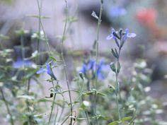 サルビア, アズレア salvia azurea, azure-blue sage