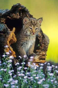A blue-eyed bobcat kitten peers out of good hide into a world full of curious sights, sounds and smells