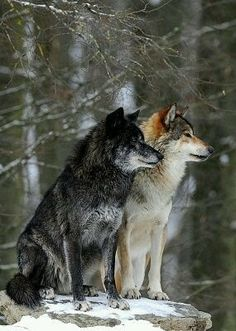 Photo: Mackenzie Valley Wolf, Alaskan Tundra Wolf or Canadian Timber Wolf (Canis lupus occidentalis), two wolves in the snow Author: Michael WeberGorgeous! I wish they all had bulletproof,human proof protection. Wolf Love, Wolf Spirit, My Spirit Animal, Wolf Pictures, Animal Pictures, Beautiful Creatures, Animals Beautiful, Tier Wolf, Animals And Pets