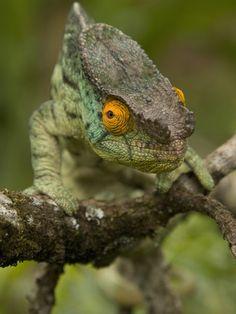 Parsons Chameleon (Calumma Parsonii)