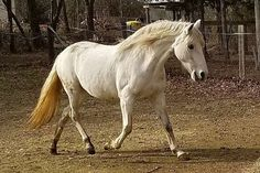 Very gentle, great for farrier, cross ties, ridden by children. Only selling because I had back surgery and doesn't get ridden. Ponies For Sale, Back Surgery, Pony, Ties, Horses, Children, Beautiful, Pony Horse, Tie Dye Outfits