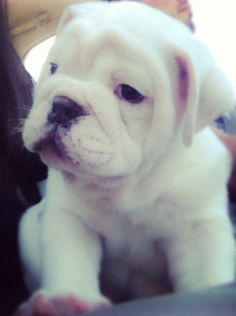 English Bulldog puppy can I have?!?!?!? It is the most beautiful thing ever!!!!