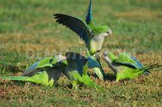 Population explosion of Quaker Parrots in Madrid: