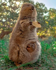 There is nothing in the world like a mother's love 💕 This heartwarming shot captured by Suzana Paravac and Meiji Nguyen (Khoa Nguyen) of a mumma quokka and her joey, taken on Rottnestisland in Western Australia. Happy Animals, Cute Baby Animals, Animals And Pets, Funny Animals, Funny Animal Faces, Beautiful Creatures, Animals Beautiful, Photo Animaliere, Tier Fotos