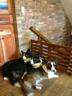 Togetherness - Cardigan Corgis Ella, Lincoln and Olathea!