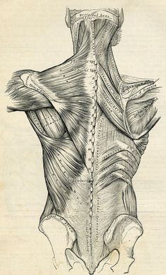 Framed Print - Vintage Muscle Structure Of The Human Back (Picture Medical Art)