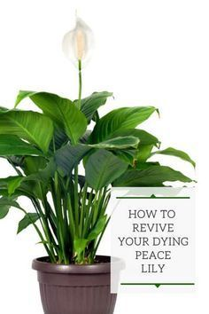 Peace Lily Plant Care, Peace Plant, Indoor Garden, Garden Plants, House Plants, Plants Indoor, Lilly Plants, Peace Lillies, Lilies