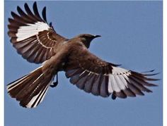 I wonder what mockingbirds think about when they fly. I would love to be a one, soar around the sky singing melodies to make everyone's day a bit better.