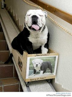 Henry The Bulldog Happy....Lejon adopted Jojo when his mother had an umbilical cord infection and couldn't take care of him.