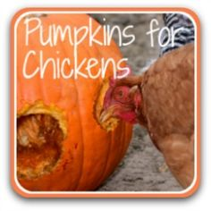 Why, when and how to feed pumpkins to your chickens. Plants For Chickens, Food For Chickens, Laying Chickens, Pet Chickens, Keeping Chickens, Backyard Chicken Coop Plans, Chicken Garden, Chickens Backyard, Backyard Ducks