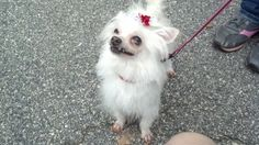 BooBoo is an adoptable Maltese Dog in Lenoir, NC. BooBoo is a 10 yr old female Maltipoo, she is now spayed and UTD on vax as well as HW negative. BooBoo has had a tough little life, her teeth were in ...