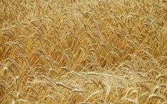 无垠的金色麦田高清桌面壁纸   #高清# #风景# #精选# #优质#