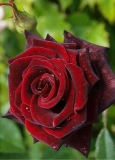New amazing flowers pics every day, be the first to see them! Fantastic flowers will make your heart open. Red Rose Love, Beautiful Rose Flowers, Flowers Nature, My Flower, Beautiful Flowers, Cactus Flower, Exotic Flowers, Flowers Garden, Purple Flowers