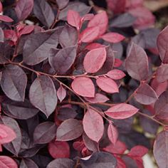 Loropetalum 'Purple Diamond' holds its purple color better than others, and stays compact. It will eventually reach 3 to 4 feet tall and 4 feet wide, making it perfect as an accent shrub in borders and containers, a foundation plant, low hedge, or in mass plantings.