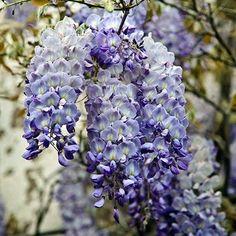 Blue Moon Wisteria on Fast Growing Trees Nursery Wisteria Sinensis, Wisteria Plant, Wisteria Garden, Wisteria Japan, Wisteria Wedding, Purple Wisteria, Garden Arbor, Garden Fun, Shade Garden