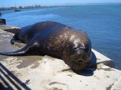 Seal in Concepcion, Chile